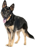 german shepherd rescue dogs